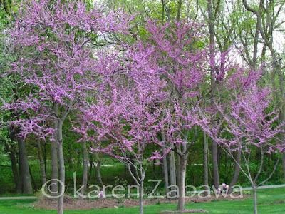Pink mauve flowers come out before the leaves on native Ontario redbud trees, shown here in full bloom May 2012