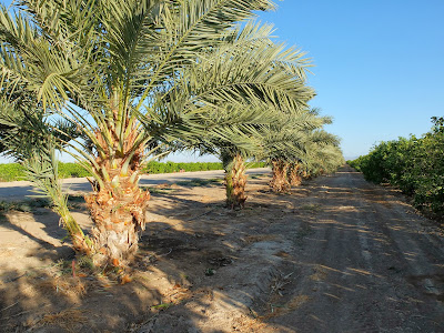 Left: Date Palms Along a Citrus Grove
