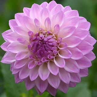 Crisantemo lila