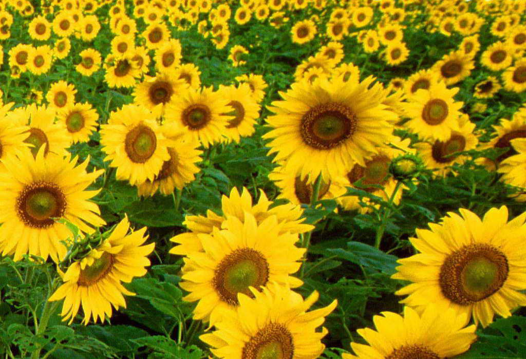 sun flowers and flower - photo #1