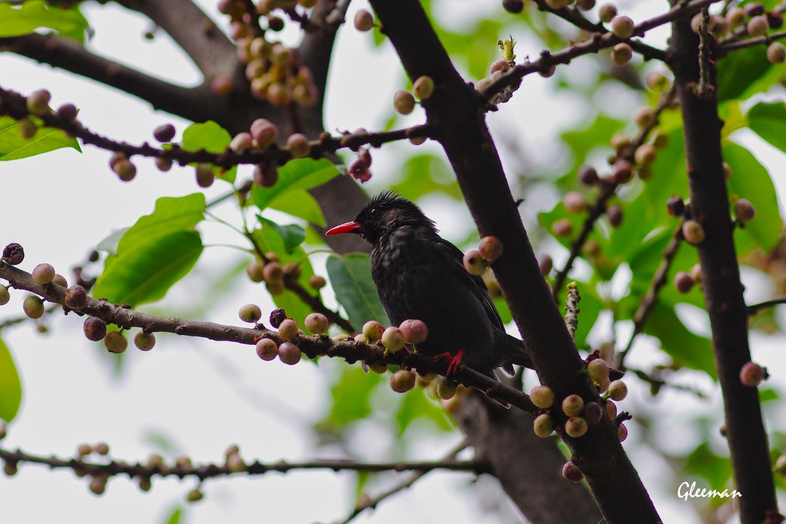 除了白頭翁、樹鵲、綠繡眼等,叫聲有時像嬰兒的紅嘴黑鵯也是常客