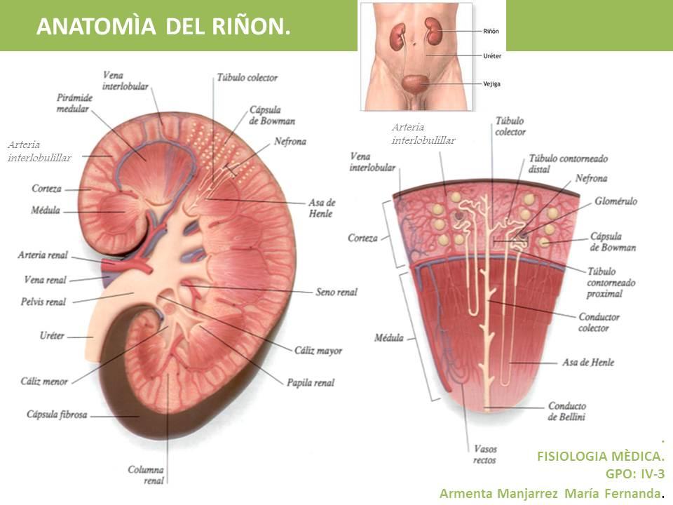CURSO DE FISIOLOGÌA CON LABORATORIO.: ANATOMIA DEL RIÑON