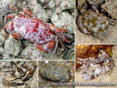 Rubble Crabs (Family Xanthidae)