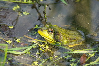 Frog by Jerry Swiatek, Creative Commons License