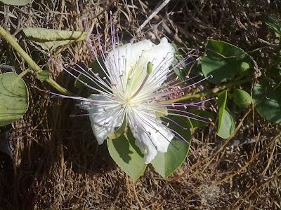 Caper Plant, Flower, Malta