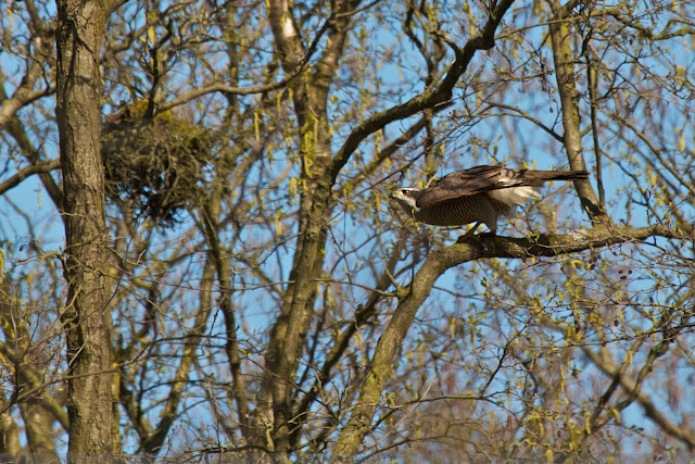 Havik gaat opnieuw in de aanval - Goshawk is going for the next attack