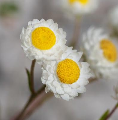 Mayweed Sunray (Hyalosperma cotula)