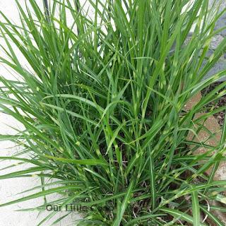 Zebra ornamental grass by sidewalk
