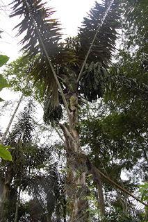 Pohon Enau - Asal dari Tuak