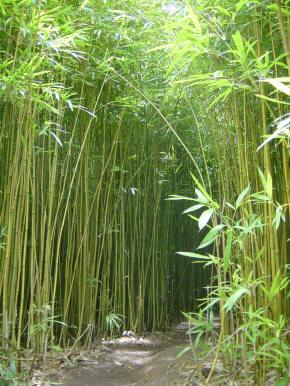Utilidades del bamb novedades del bamb - Bambu planta exterior ...