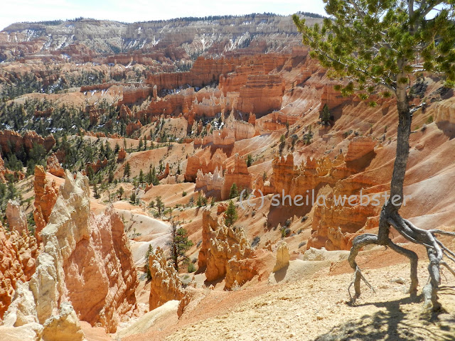 tree roots above ground in Bryce Canyon