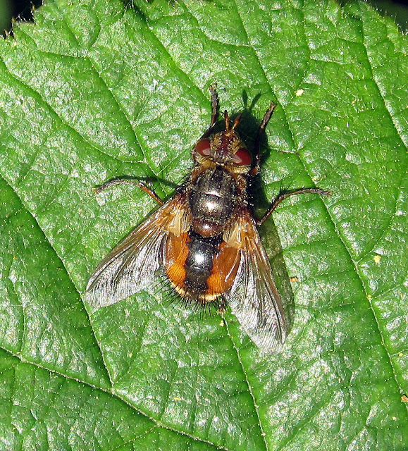 A striking fly, Tachina fera, on a bramble leaf in the woods on Hayes Common.  30 April 2011. The larvae are parasites on various caterpillars. Adults like this one eat flower nectar.