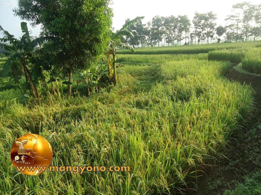 FOTO : Tanaman padi milik saya tumbang setelah diterjang angin dan hujan.