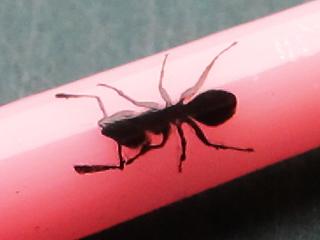 マドラースプーンの柄の部分に印刷した蟻の拡大写真