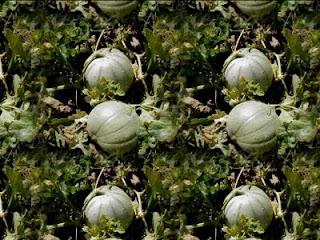 Histoire de melons