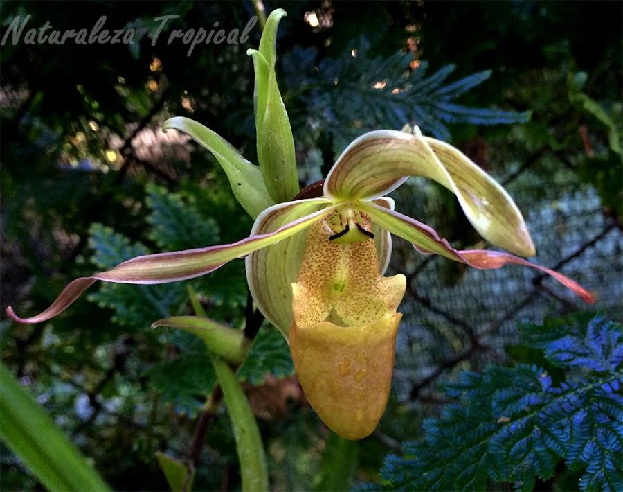 Orquídea zapatilla de Venus, Paphipedilum sp