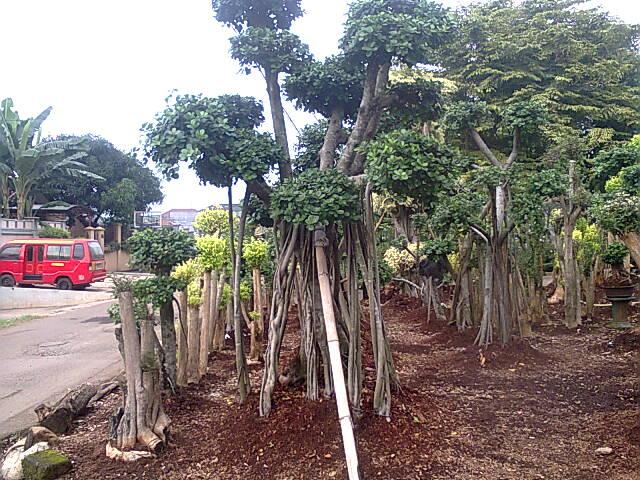 beringin korea sebagai material taman