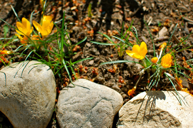 Grow, garden, spring, crocus