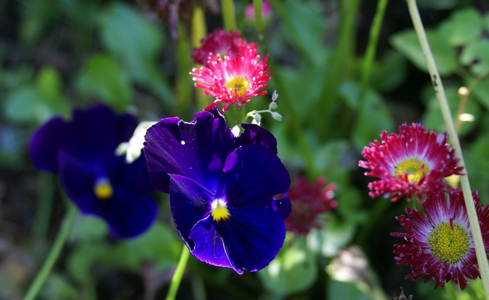 Анютины глазки цветы сиреневые цветы