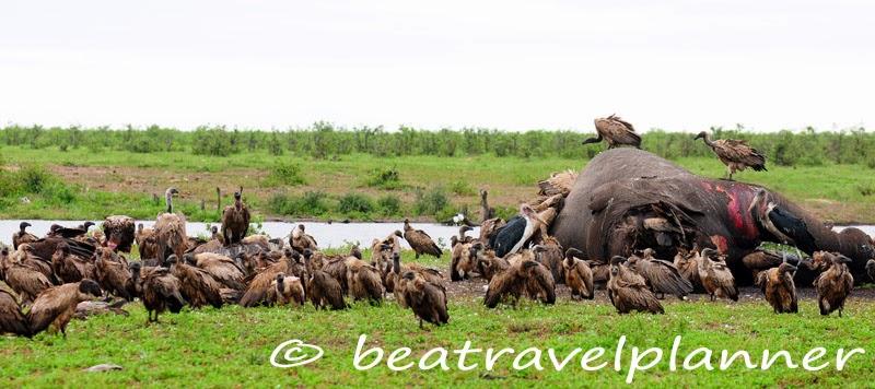 Carcassa di elefante-Kruger national park