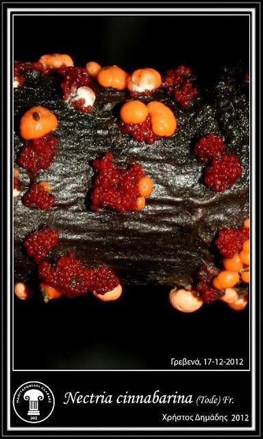 Nectria cinnabarina (Tοde) Fr.