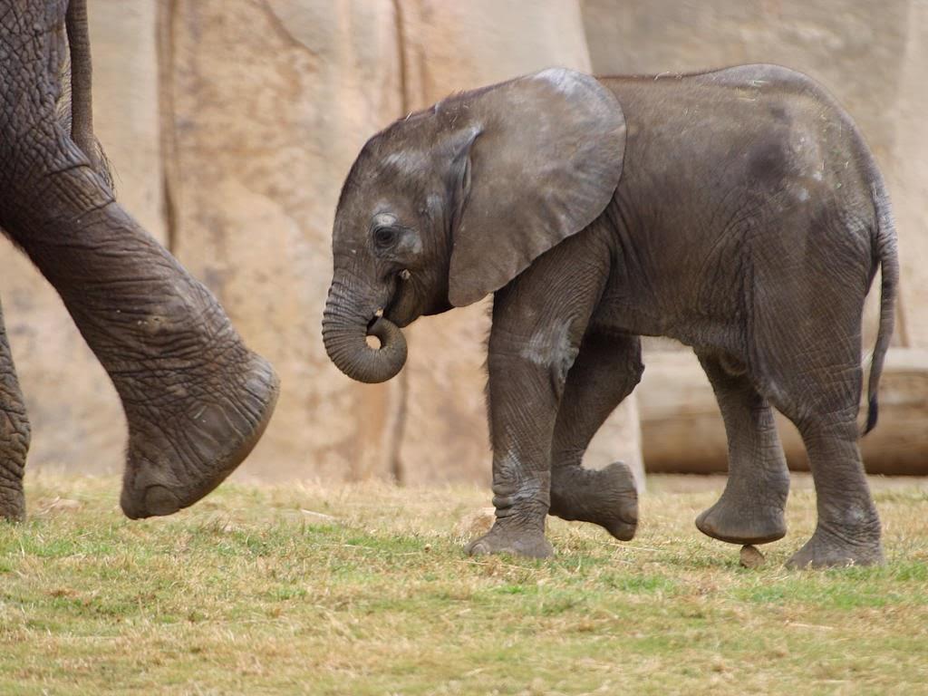 "<img src=""http://2.bp.blogspot.com/-ecGtP_j7OC8/UtmWujc4n9I/AAAAAAAAIrQ/f_6BoWp5z_0/s1600/animal-wallpapers-elephant-put-one-foot-forward.jpeg"" alt=""elephant put one foot forward"" />"