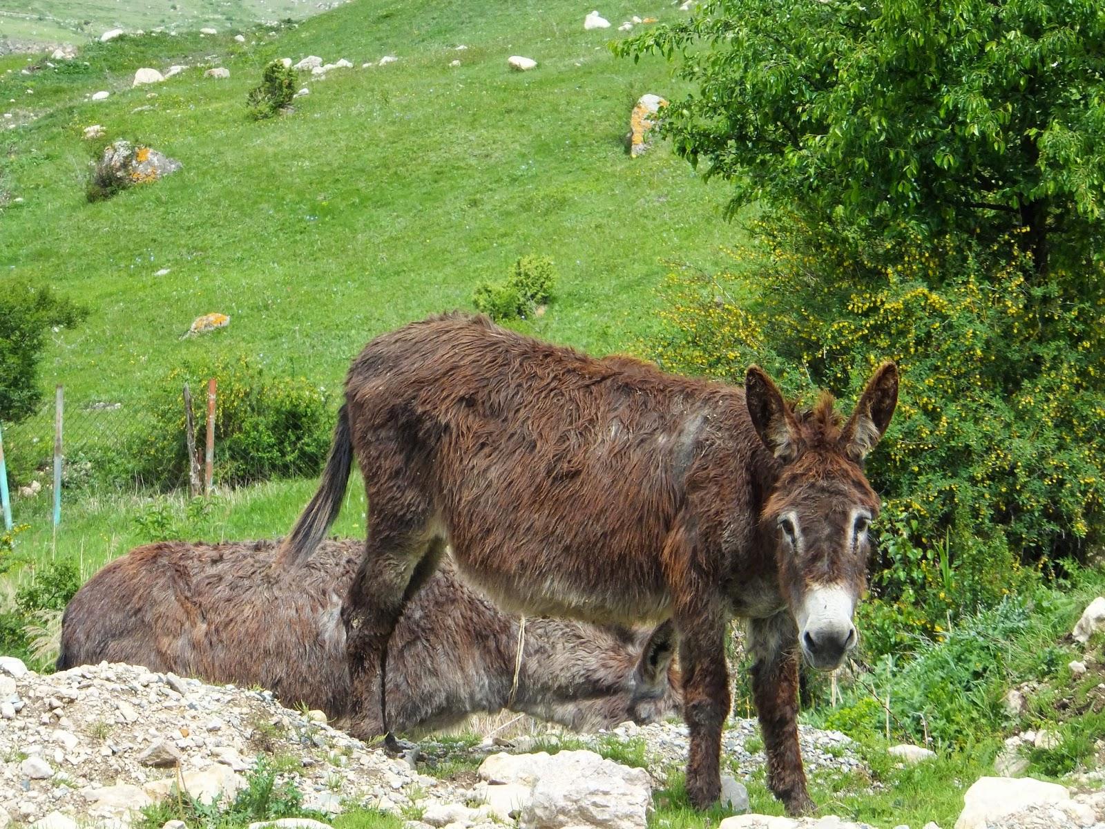 бродячий ослик в горах Северной Осетии