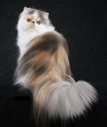Persian Cat Breed Photos