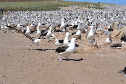 Albatross runway