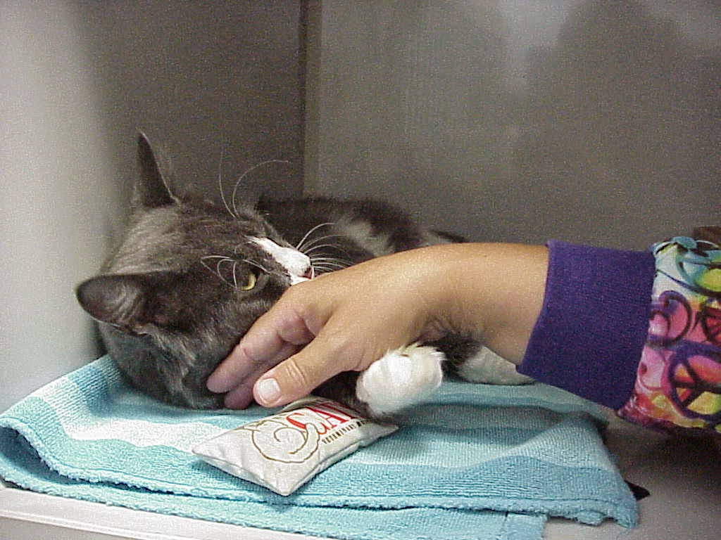 Gray cat being petted on the cheek | Exclusively Cats Veterinary Hospital Waterford, MI