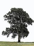 El eucalipto en la plaza de Cayastacito