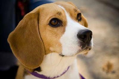 Fotos de cachorros Beagle
