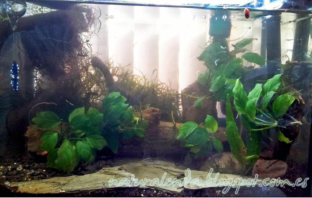 acuario con anubias