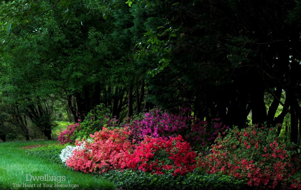 azaleas and pachysandra