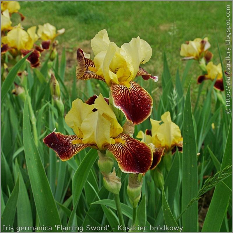 Iris germanica 'Flaming Sword' - Kosaciec bródkowy 'Flaming Sword'