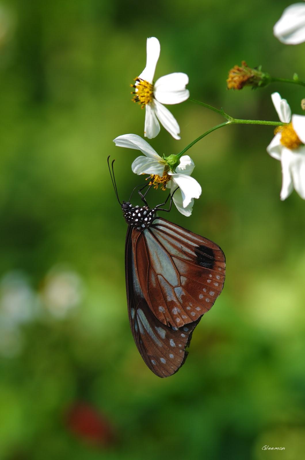 雞南山的大絹斑蝶