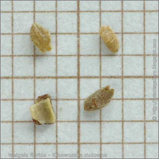 Weigela florida seeds - Krzewuszka cudowna nasiona