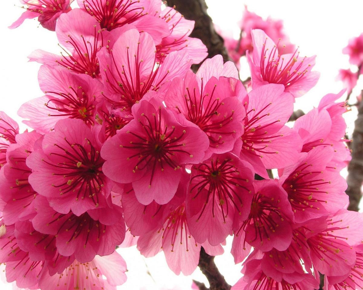 spring flower wallpaper pink - photo #36