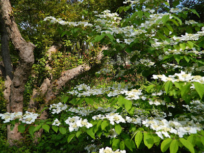 Viburnum plicatum f. tomentosum 'Mariesii' doublefile viburnum by garden muses-not another Toronto gardening blog