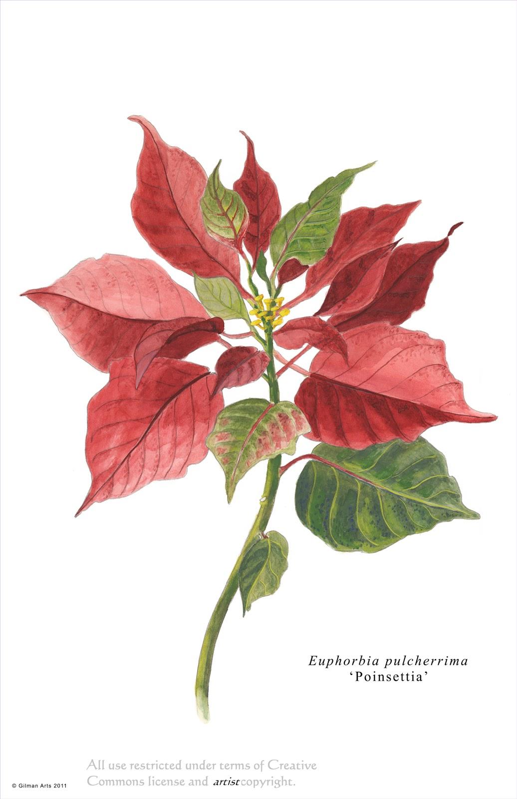 Poinsettia Illustration botany Pinterest