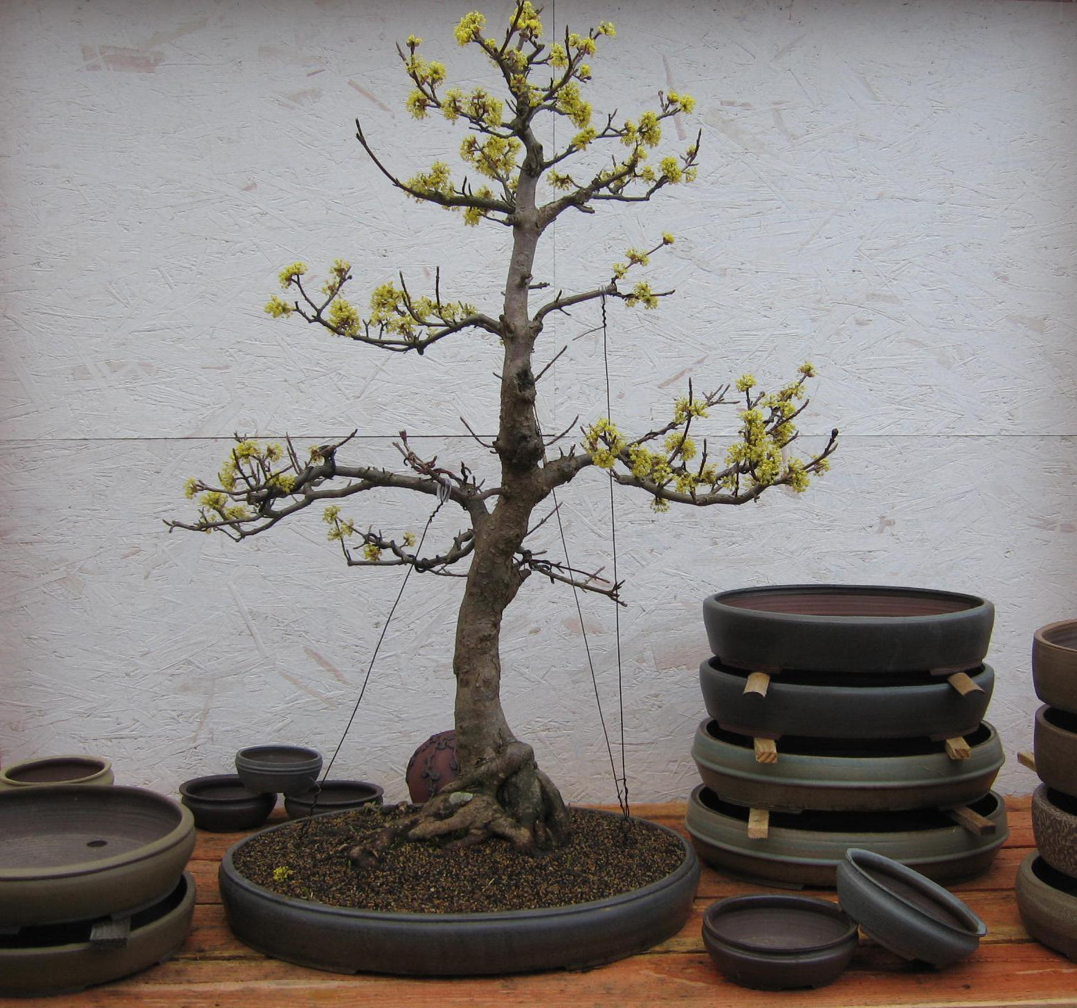 bonsai das sch nste hobby der welt februar 2011. Black Bedroom Furniture Sets. Home Design Ideas