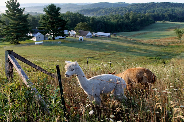 Alpacas grazing up near the ridge overlooking the farm