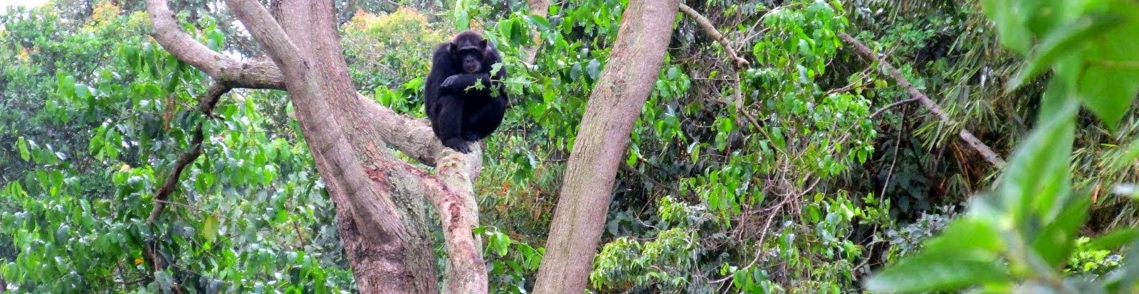 Chimpanzee (Entebbe, Uganda)