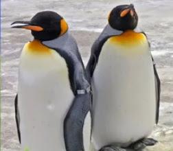Foto Burung Penguin Raja