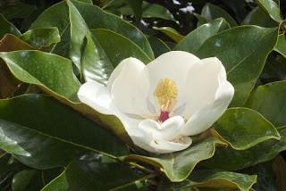 Im genes de flores y plantas magnolia - Semilla de magnolia ...
