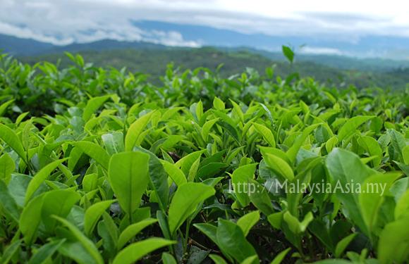 Sabah Tea Garden Photo