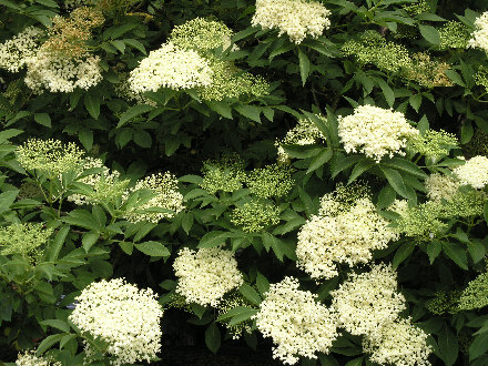 elderflower_440.jpg