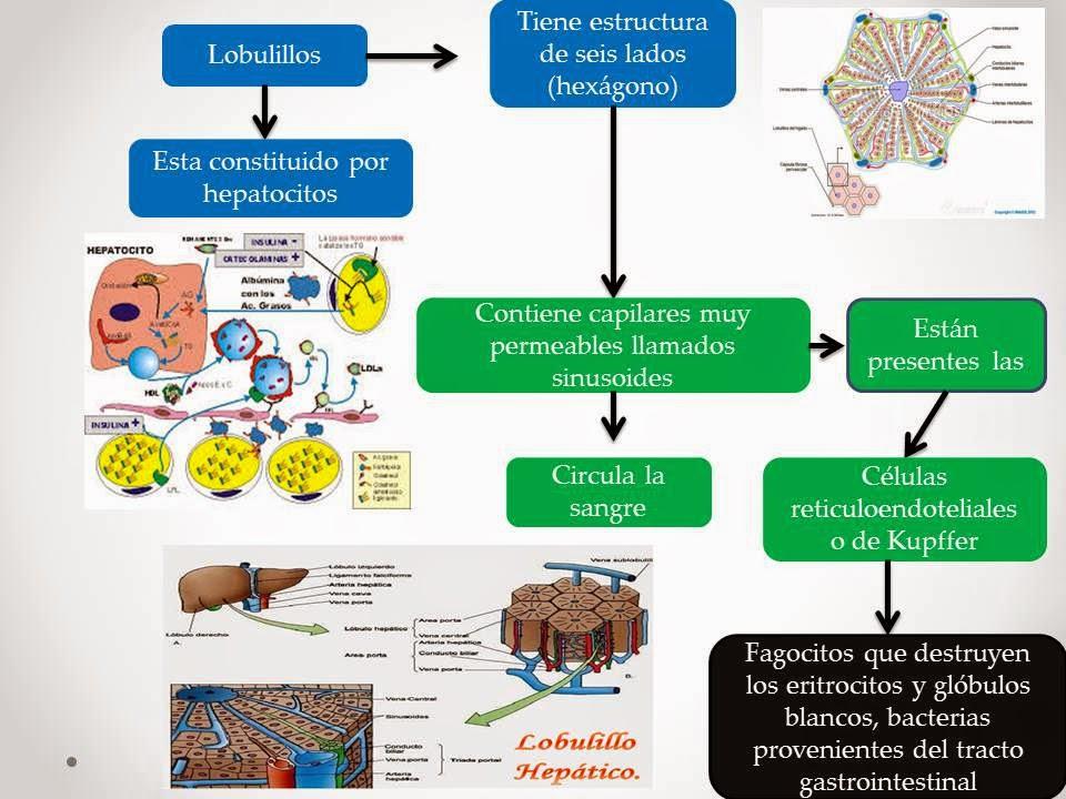 El Blog de Fisiologia de Israel Aramburo Lucas: Higado: en este mapa ...