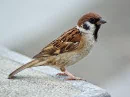 Ciri-Ciri Burung Gereja Bagus | Burung Nusantara