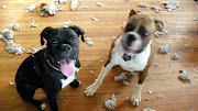 Boxer Puppies Play Tug of War, who won?